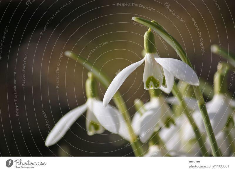Geophytenköpfe Natur Pflanze schön grün weiß Blume Umwelt gelb Frühling Blüte natürlich Garten Wetter Wachstum frisch Klima