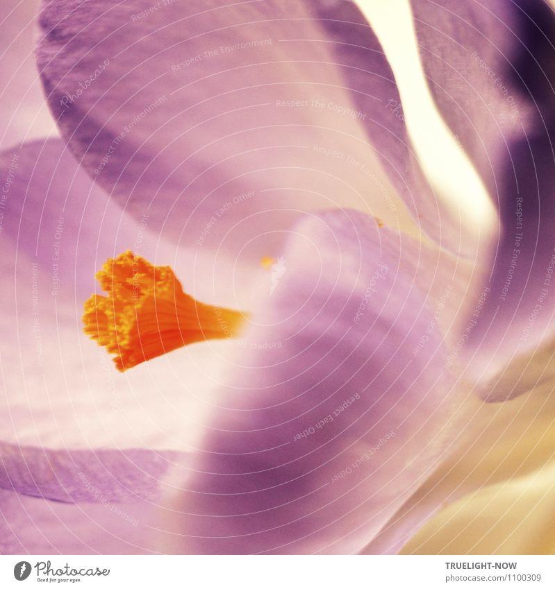 Krokusblüte Natur nackt Pflanze schön weiß Blume Erotik gelb Frühling Blüte klein hell orange elegant frisch authentisch