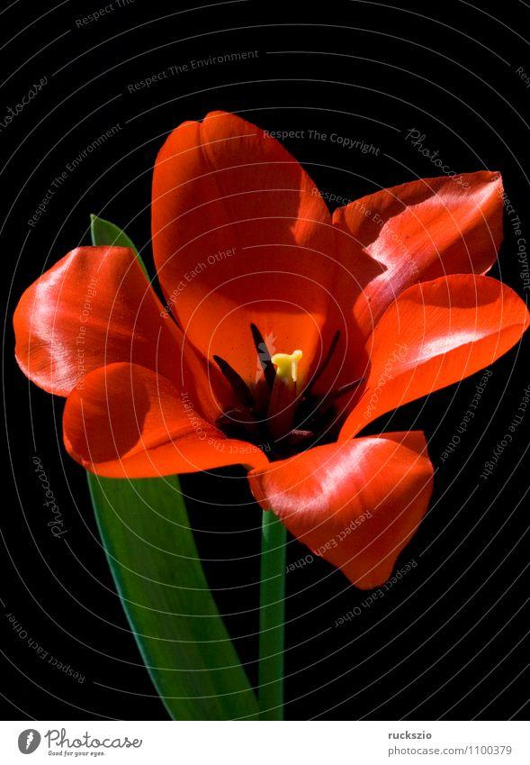 Rote Tulpe Natur Pflanze Frühling Blume Blüte Blühend frei rot schwarz Tulpenblüte Tulipa Frühlingsblume Fruejahrsblume Frühblüher Fruejahrsblumen