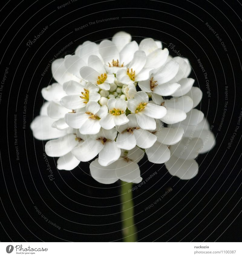 Schleifenblume Gesundheit Alternativmedizin Natur Pflanze Blume Blüte frei schwarz weiß Bittere Schleifenblumen Iberis amara einheimisch weissbluehende