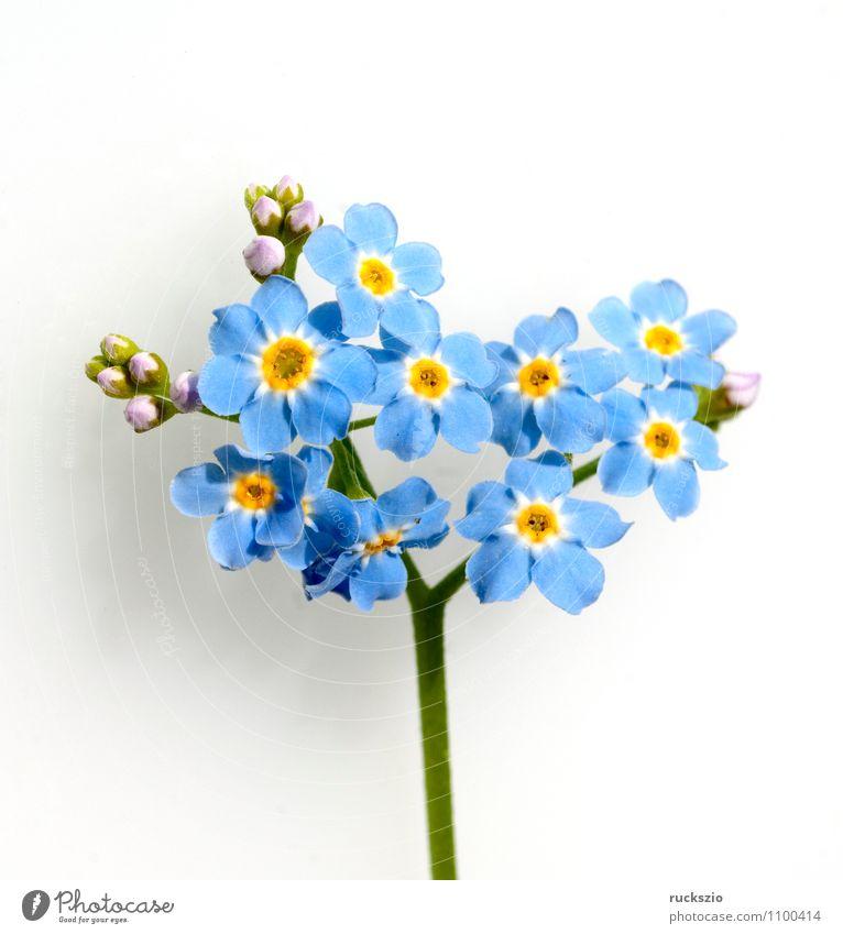 Sumpfvergissmeinnicht, Myosotis palustris, Wasserpflanzen Natur Pflanze Blume Blüte Moor Teich See frei blau weiß blaue Blueten Vergißmeinnicht