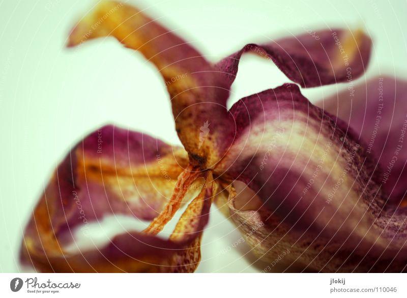 Orchid Orchidee trocken getrocknet violett hell-blau Blüte Blume Pflanze Biologie Stengel welk Wachstum Bedecktsamer schön klassisch geschätzt Unschärfe