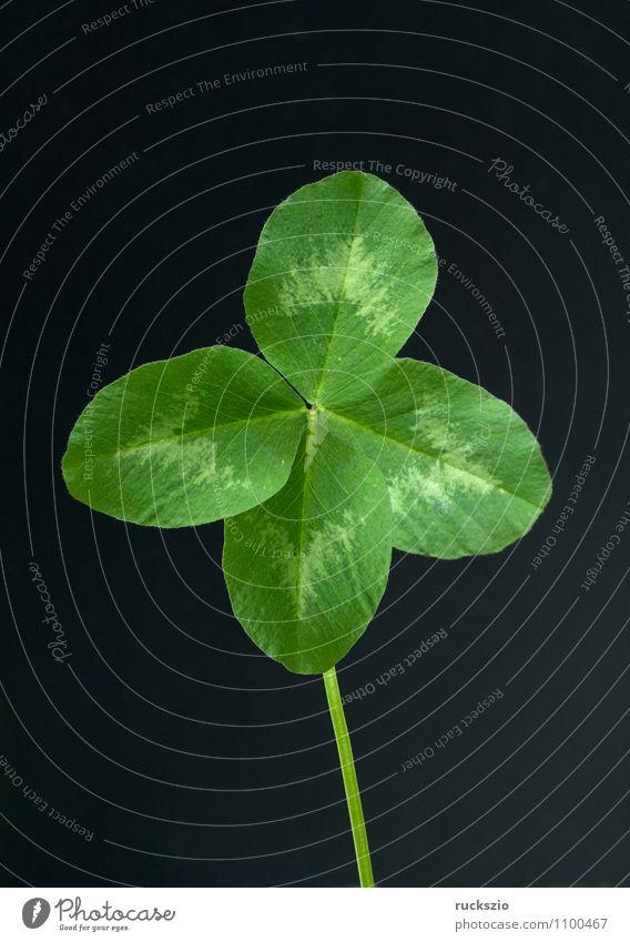 Rotklee, Trifolium pratense, Vierklee Glück Natur Pflanze Blatt Wildpflanze Feld frei grün schwarz Kleeblatt essbar Glücksklee Wiesenblume Ackerwildkraut