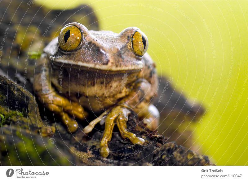 Waldsteigerfrosch Natur Auge Frosch Haustier kleben Lurch Terrarium Tier