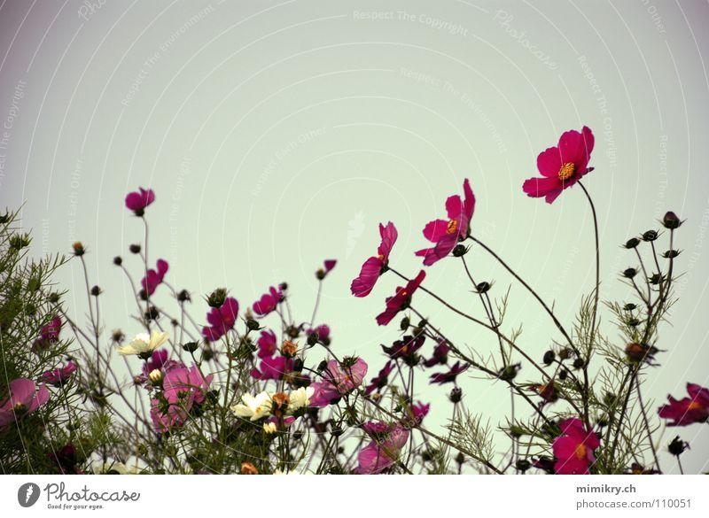 Blumen im Abendlicht Himmel grün Pflanze Sommer Blume Blüte Garten rosa Wachstum Romantik Idylle Blühend zart Abenddämmerung Blütenknospen Schrebergarten