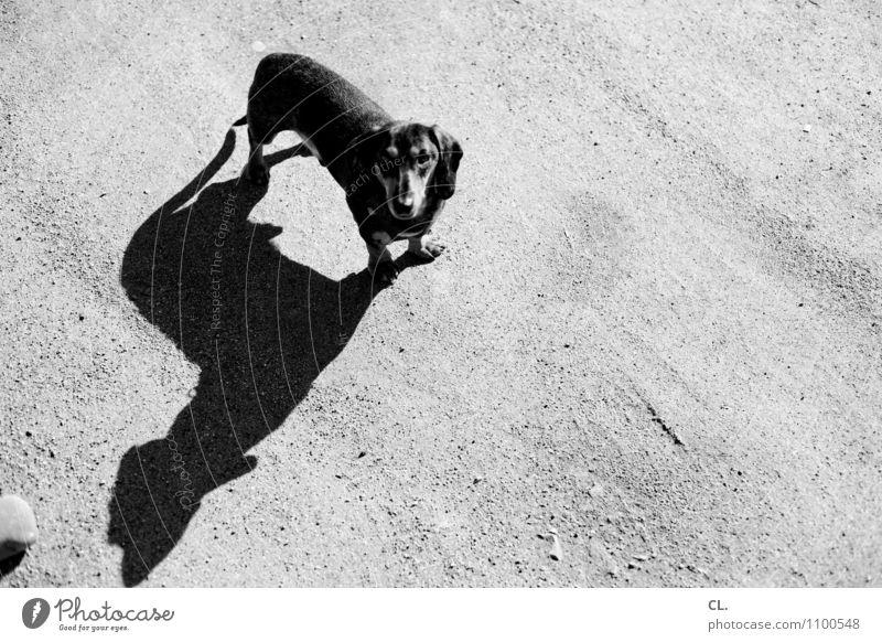 erwartungshaltung Schönes Wetter Tier Haustier Hund Tiergesicht Dackel 1 Boden beobachten warten niedlich Tierliebe Schwarzweißfoto Außenaufnahme Menschenleer