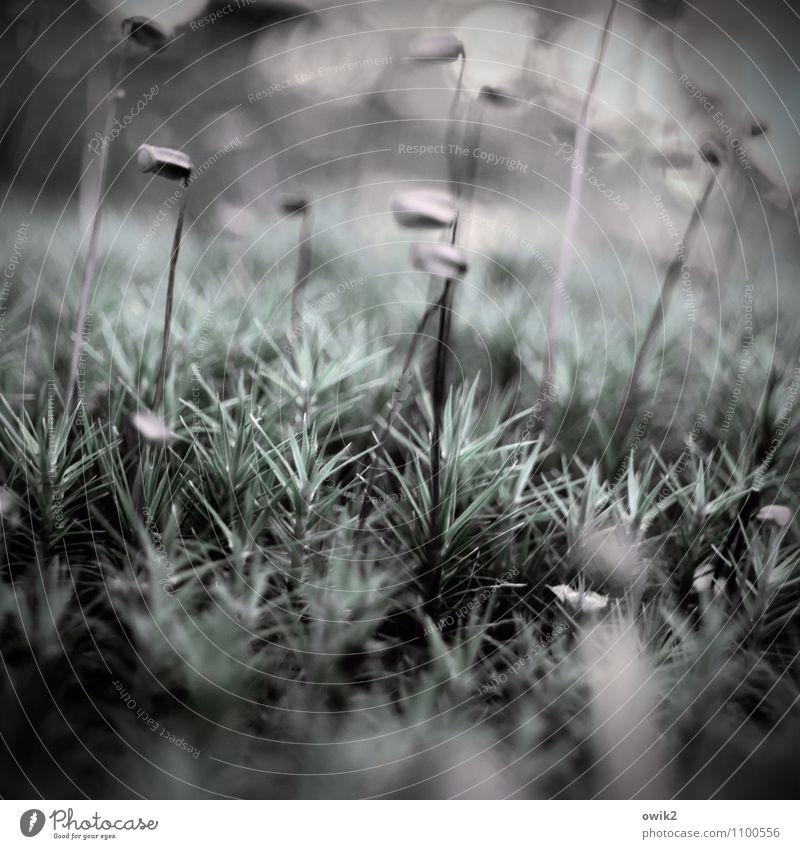Auf dem Teppich bleiben Umwelt Natur Pflanze Schönes Wetter Wildpflanze Moos Sporenkapsel Wald beobachten Bewegung Blick stehen dünn authentisch klein nah unten