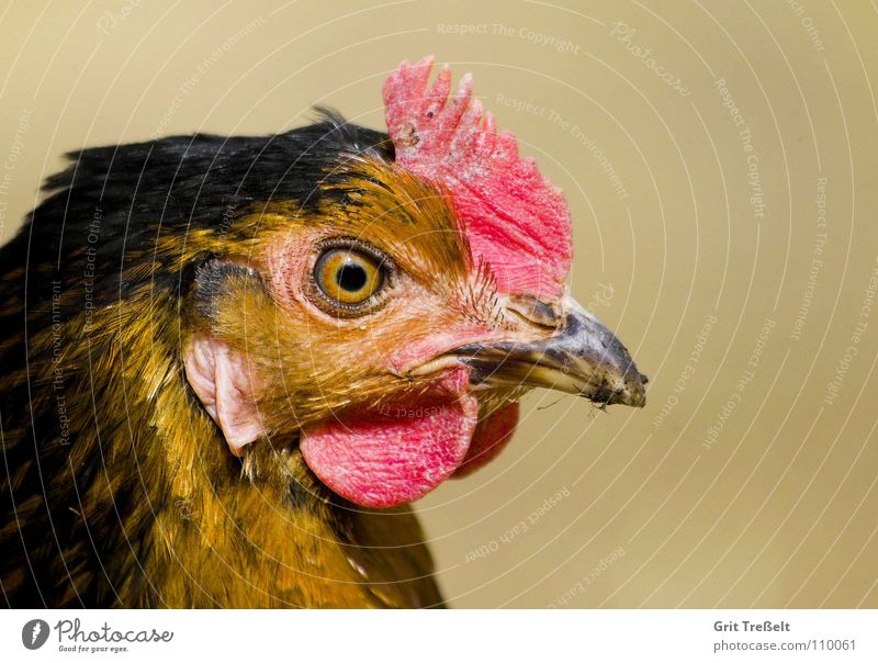 Gockel-Portrait Hahn Haushuhn Tier Nutztier Haustier Vogel Flügel