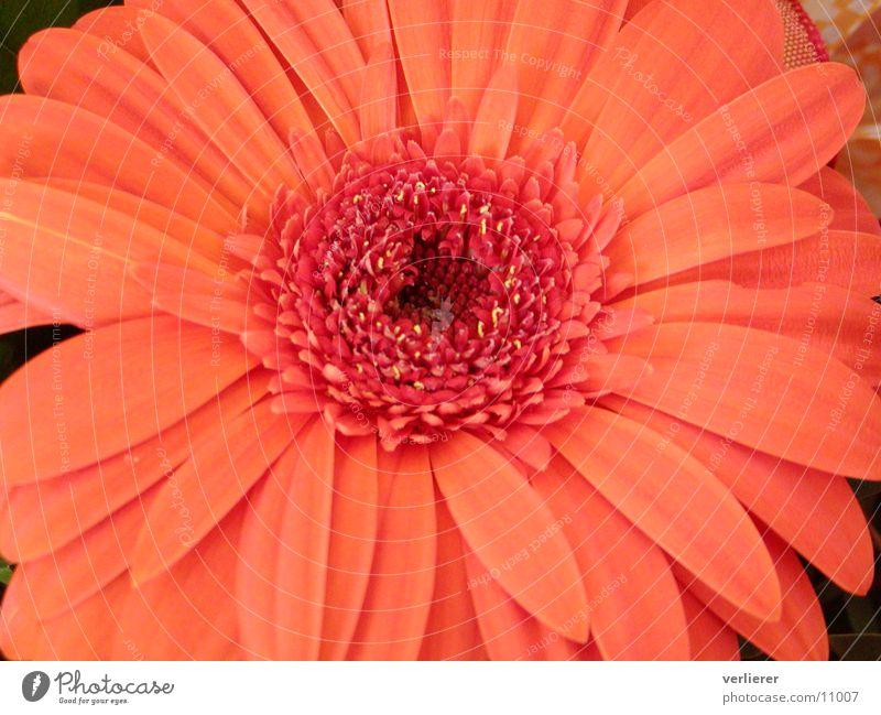 gerbera Blume orange Gerbera