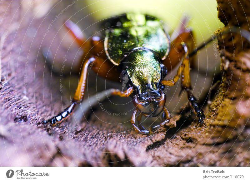 Laufkäfer Natur grün fliegen laufen Insekt Käfer