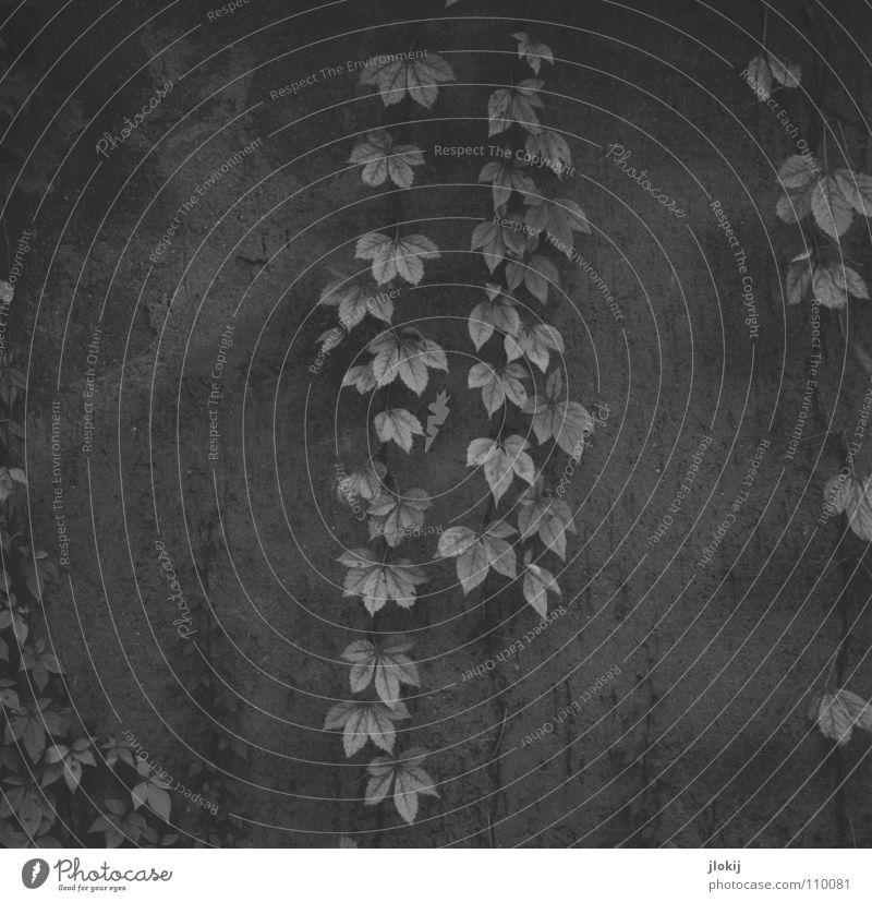 Herbe Romantik Blatt Girlande verschönern Grab Grabmal Herbst Mauer hängen Wachstum Pflanze Schmuck Kletterpflanzen Ranke Jahreszeiten Schwarzweißfoto verfallen