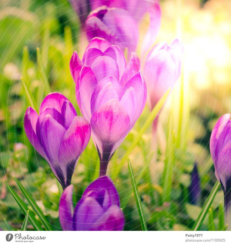 Krokus Natur schön grün Blume Frühling Wachstum Blühend Ostern violett Krokusse Montbretie