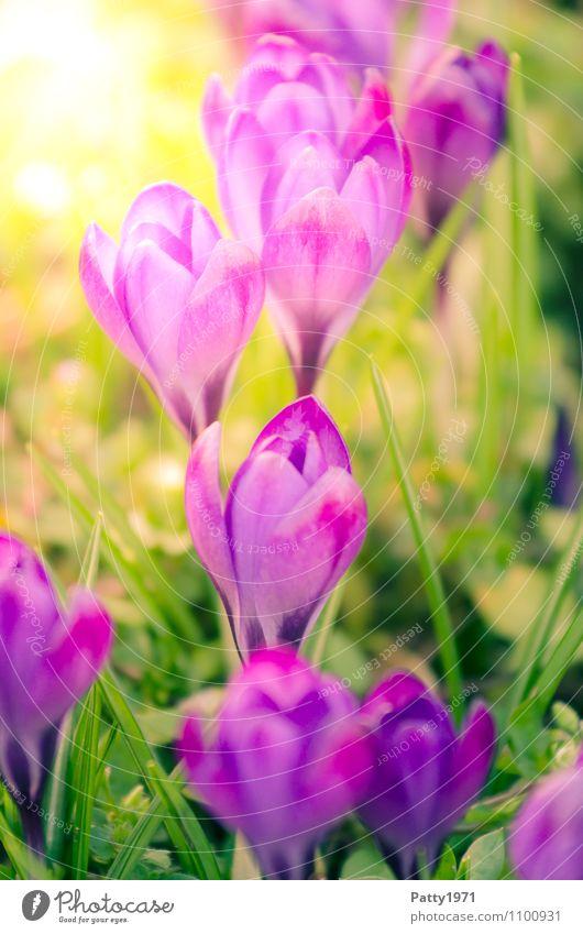 Krokus Ostern Natur Pflanze Frühling Schönes Wetter Blume Montbretie Krokusse Blühend schön grün violett Farbfoto Außenaufnahme Tag