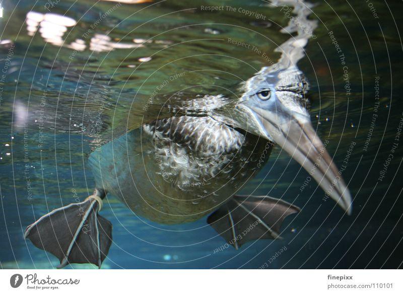 Huhu, alles o.k.? Erpel Tölpel (Vogelart) Gans Pinguin Tier weich tauchen Unterwasseraufnahme Schnabel schlafen Im Wasser treiben Erholung Trauer trüb trist