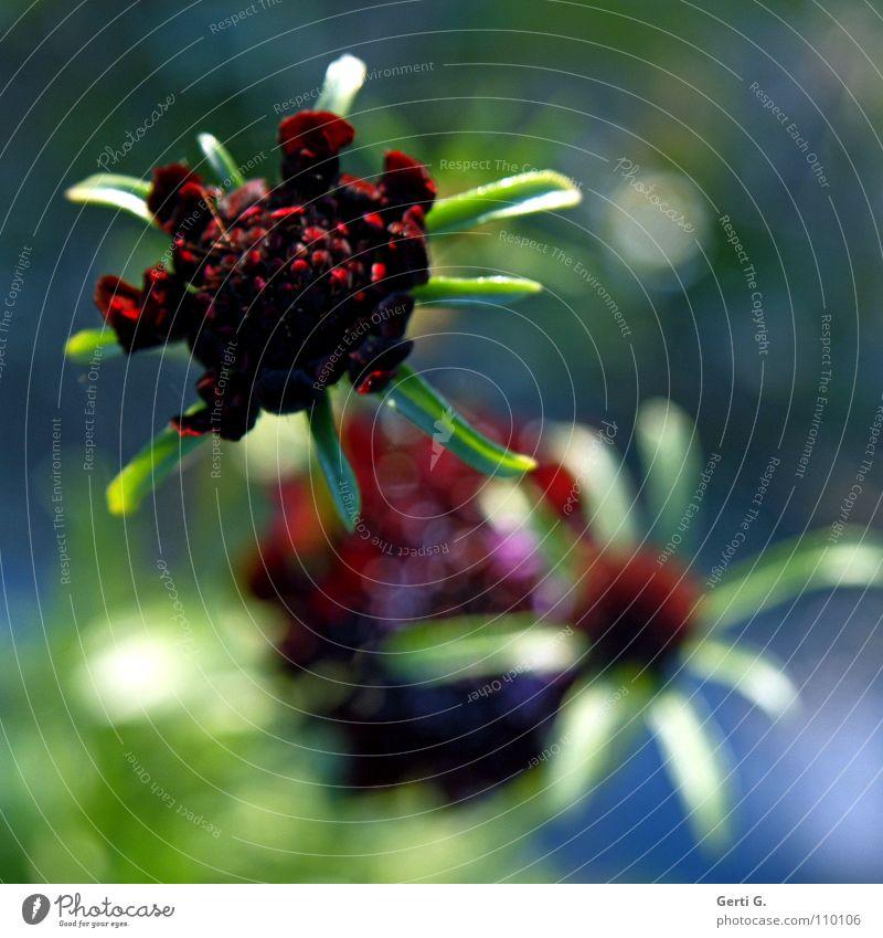 alien beauty grün rot Sommer Blume Farbe Herbst Blüte mehrere Stern (Symbol) weich violett viele Blühend Stengel Blütenknospen Knöpfe