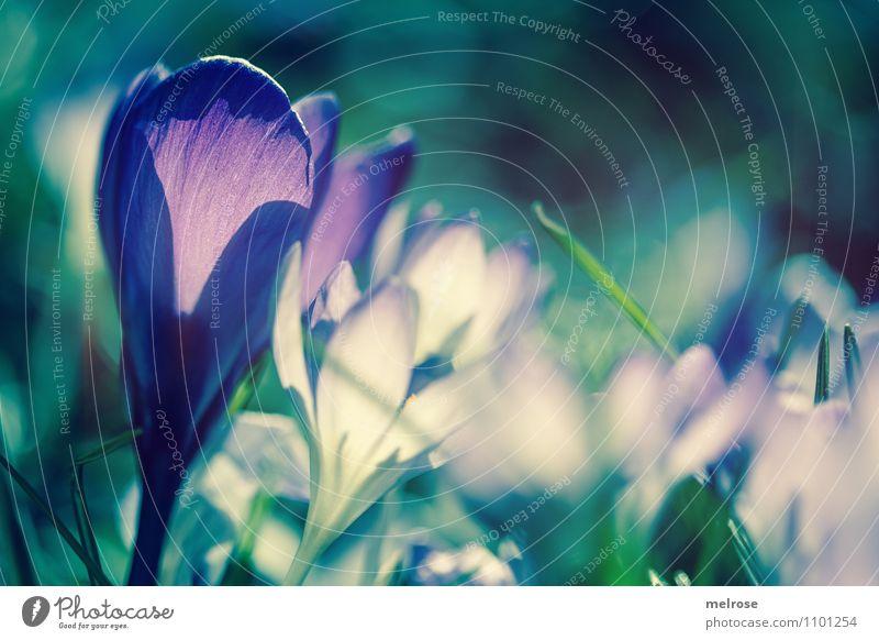 Gegenlicht elegant Stil Fotografieren Natur Pflanze Frühling Schönes Wetter Blume Gras Blatt Blüte Wildpflanze Frühblüher Krokusse Halm Garten Frühlingsleuchten