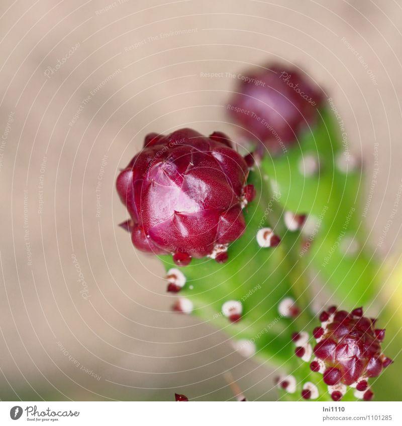 Säulenkaktus Natur Pflanze schön grün Farbe weiß Sommer rot Blatt Blüte grau außergewöhnlich Garten rosa Park Wachstum
