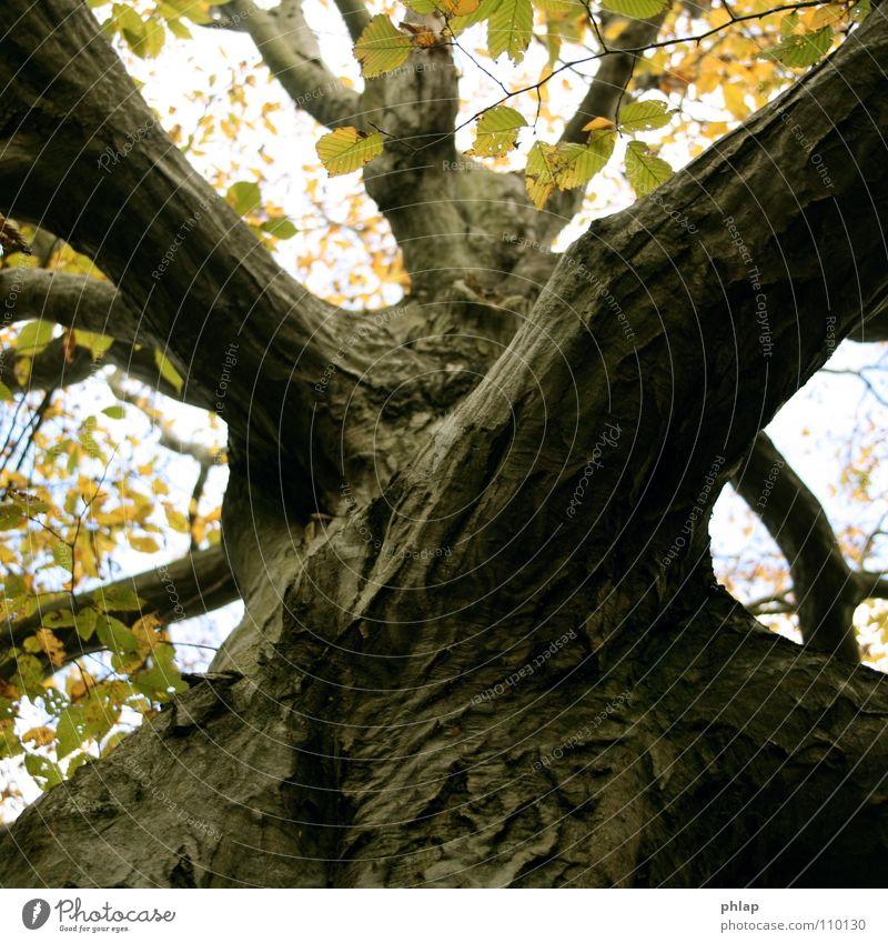 Herbstdiagonale schön Himmel Baum Blatt gelb Herbst Holz braun Baumstamm diagonal Geometrie Baumkrone Buche