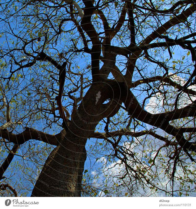 Wirrwar Himmel Baum blau Afrika Zweig durcheinander verzweigt Maassai Mara
