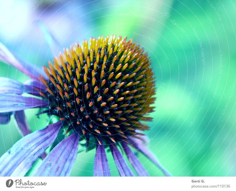 türvioblö Natur grün rot Pflanze Blume gelb Blüte Gesundheit orange rosa rund Spitze violett zart Tee türkis