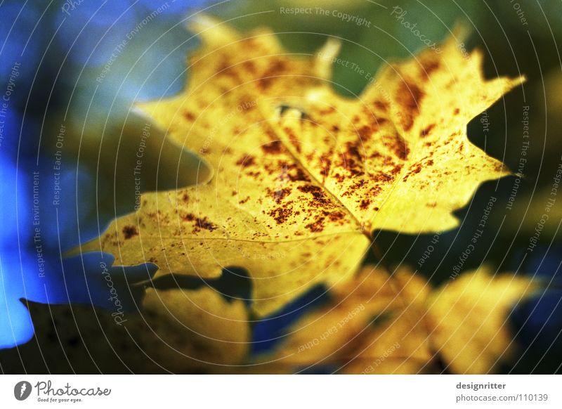 Goldener Oktober Herbst Blatt Ahorn Herbstlaub mehrfarbig gelb braun rot Ende alt blau Schatten fallen autumn october age leave leaves colored colors colour