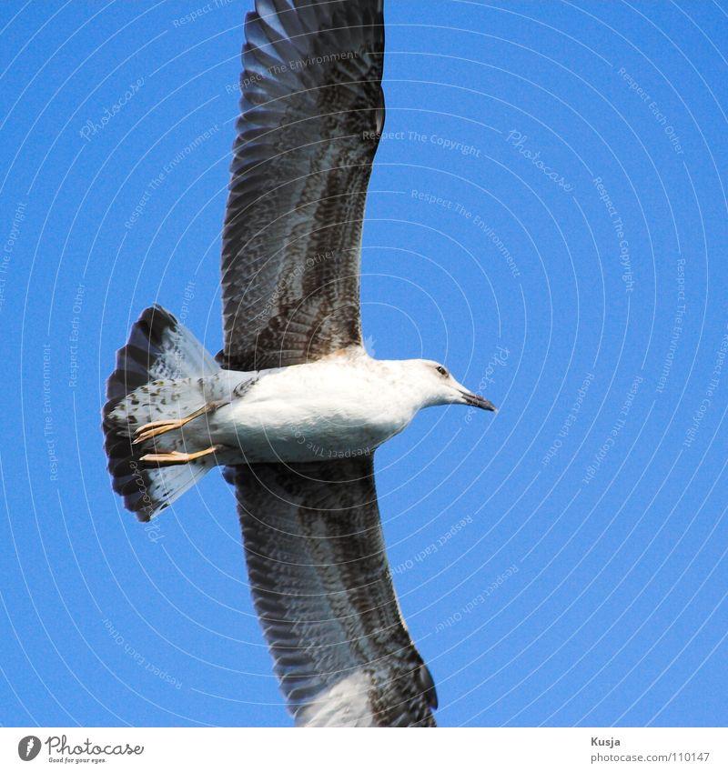 Gleiter blau weiß schwarz Vogel fliegen laufen Flügel Jagd Segeln Möwe Angeln Schweben Kurve wehen ziehen Türkei