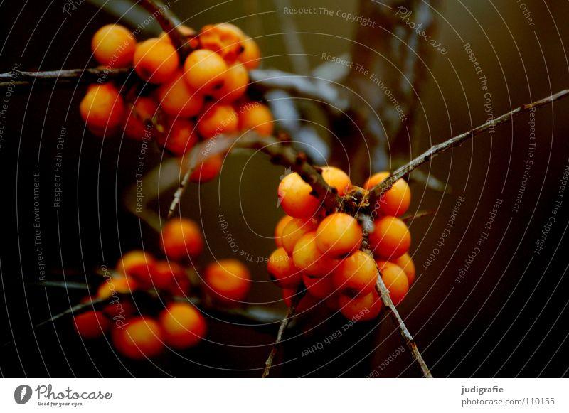 Herbst Pflanze Farbe braun orange Umwelt Sträucher Spitze Zweig Beeren Vitamin C Sanddorn