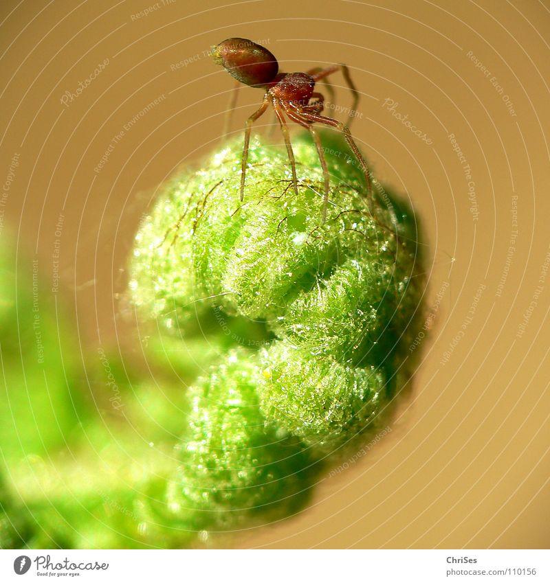 Spinnendreher Tier grün Spinnennetz Rolle gerollt rollen Frühling Pflanze Blume Nordwalde Angst Panik Makroaufnahme Nahaufnahme Echte Farne gliederfüssler