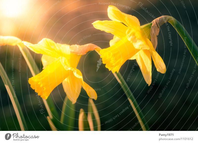 Osterglocken Natur Pflanze schön grün Blume gelb Frühling Blühend Ostern Narzissen Gelbe Narzisse