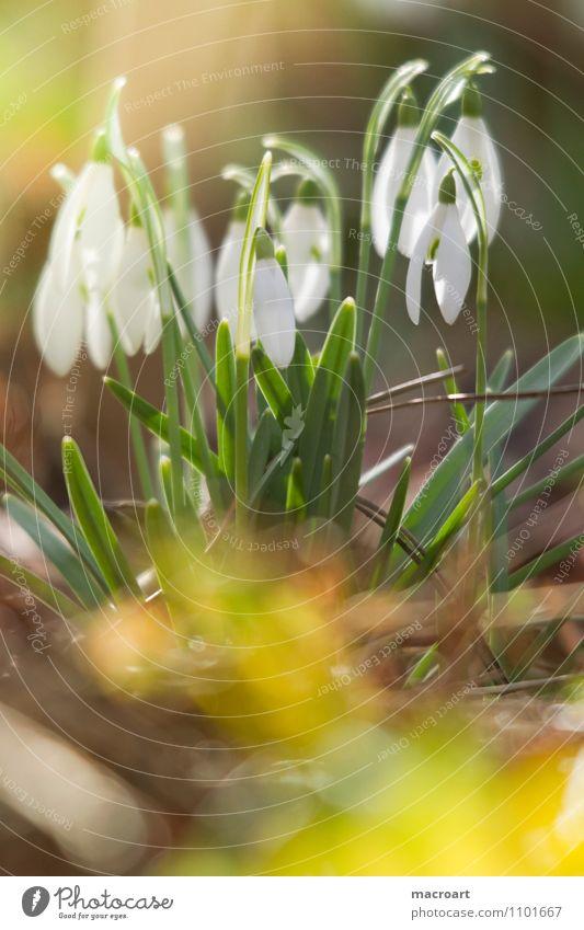 Schneeglöckchen weiß grün Frühblüher Frühling Wiese Blüte Sonne Wärme Winter Ende gelb Hauben Blütenblatt zart Blütenknospen aufwachen Natur Pflanze natürlich
