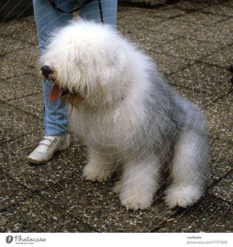 Bobtail Hund Tier beobachten Haustier Landraubtier Haushund Rassehund