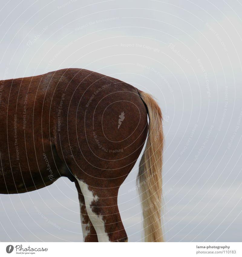 Das Hinterteil Gesäß Pferd Schwanz Mähne Springreiten dressieren Nutztier Tier Fell scheckig Ausritt Säugetier Verkehr kruppe Pony Rücken Beine Bauch