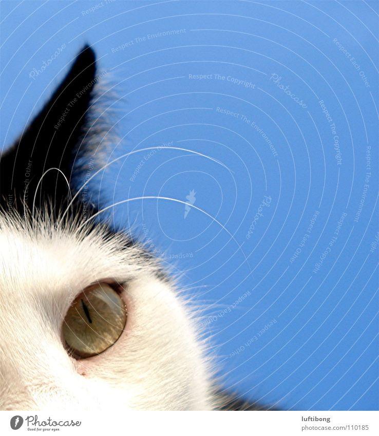 guck doch nicht so doof blau weiß schön Katze schwarz Tier Auge Blick Glück authentisch neu bedrohlich niedlich beobachten Tiergesicht