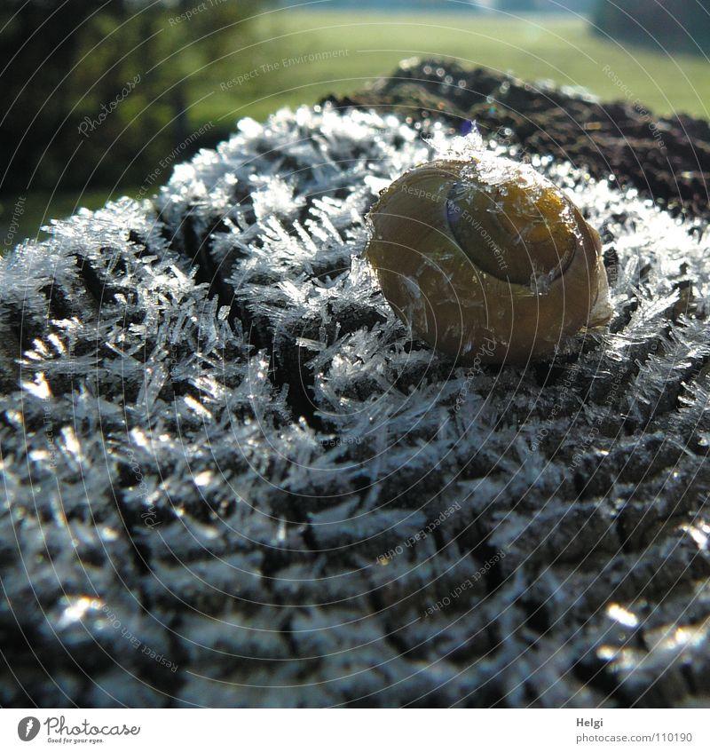 Schnecke auf Eis.... Winter kalt Raureif Morgen frieren gefroren Minusgrade Schneckenhaus Zaunpfahl Holz Eiskristall lang Wiese Baum Wegrand Sonnenstrahlen
