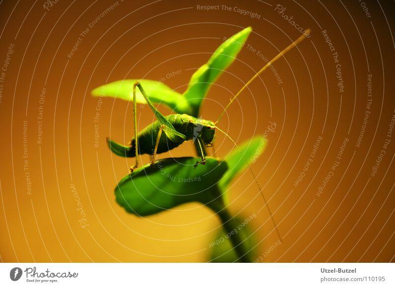 halbtote Heuschrecke Insekt grün Makroaufnahme gelb Pflanze Nahaufnahme Canon Graßhüpfer Eos Natur