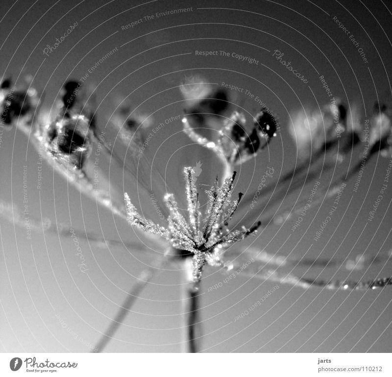 vereist Blume kalt Winter Eiskristall gefroren Wiese Schwarzweißfoto Frost Kristallstrukturen jarts Wasser Seil
