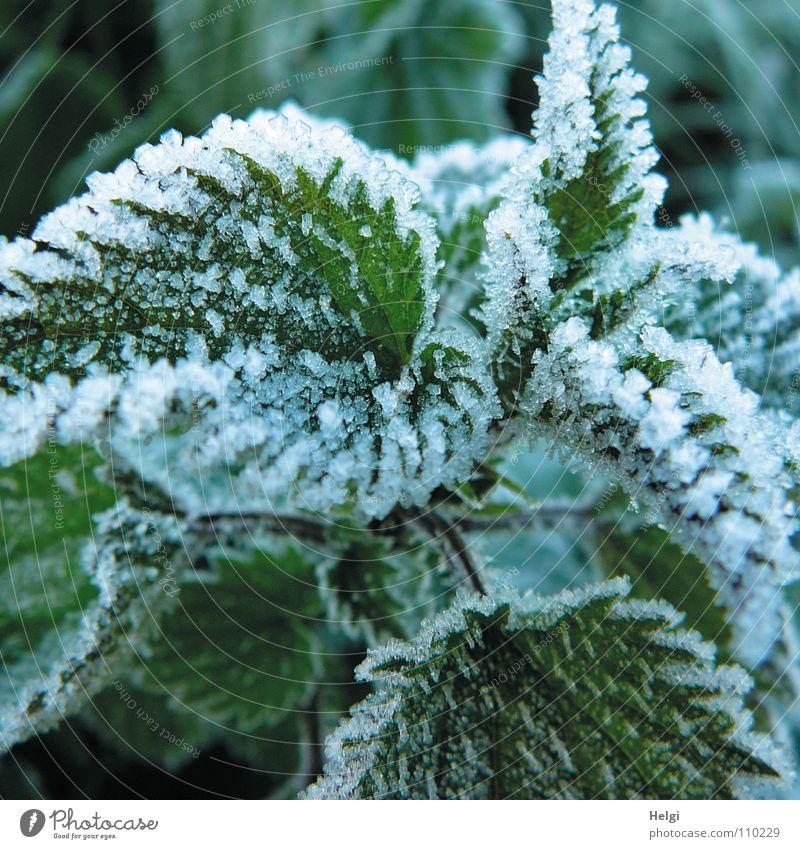 Nahaufnahme von Eiskristallen an Brennnesselblättern Winter frieren gefroren kalt Blatt Pflanze grün weiß Frost Natur Schnee Heilpflanzen Unkraut Schneekristall