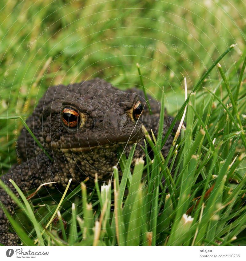 Froschperspektive Tier hüpfen Blick warten hocken Gras Wiese grün braun groß Kaulquappe Ekel gruselig Unschärfe Hintergrundbild Küssen Märchen tierisch klein