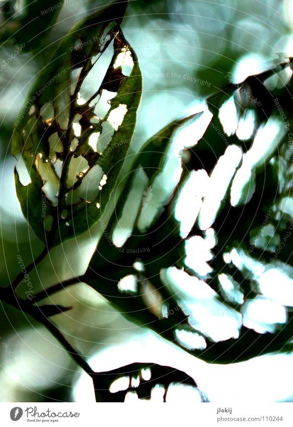 Gelocht Natur Baum grün Pflanze Blatt Herbst Bewegung Wind Ast Vergänglichkeit Jahreszeiten Loch durchsichtig Zweig Biologie Gefäße