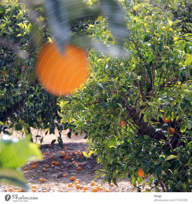 reif... Lebensmittel Frucht Orange Umwelt Natur Landschaft Pflanze Frühling Schönes Wetter Baum Blatt Nutzpflanze Orangenbaum Orangenhain Insel Mallorca hängen