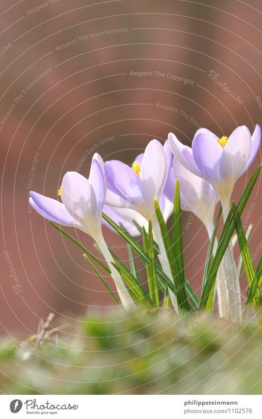 Der Lenz ... Natur Pflanze grün Blume ruhig Umwelt gelb Wärme Wiese Frühling Gras Garten Park Wetter ästhetisch Beginn