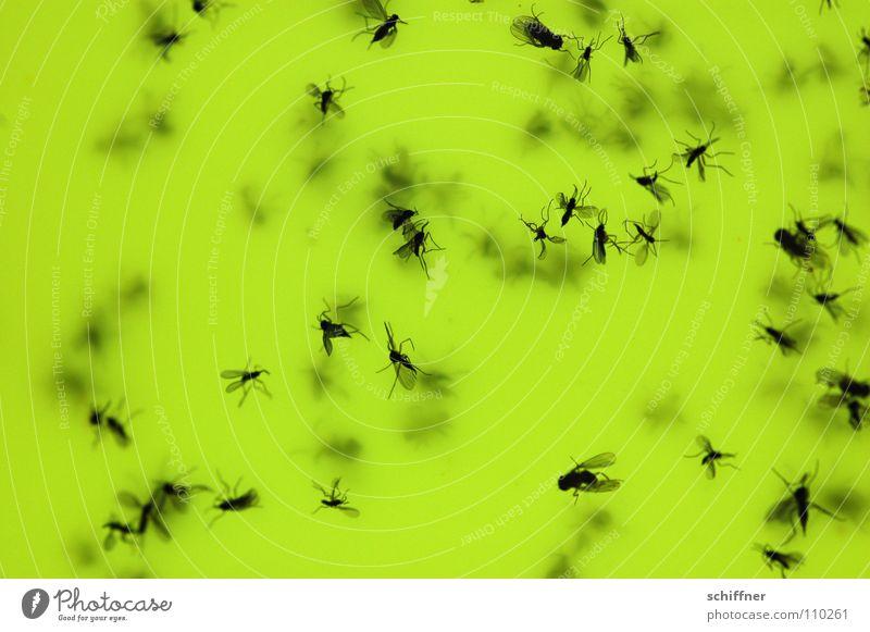 Suicide Bugs Taufliege Stechmücke gelb Mostfliege Mückchen Fliege fliegen Geschmeiß Drecksviecher lästig Tod untergehen Hinterhalt selbst schuld Makroaufnahme