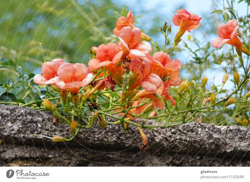 Auf der Mauer, auf der Lauer,... Natur Pflanze Sommer Blume Blüte Wand Stein Blühend Duft verblüht dehydrieren Wachstum grau grün orange rot Sinnesorgane