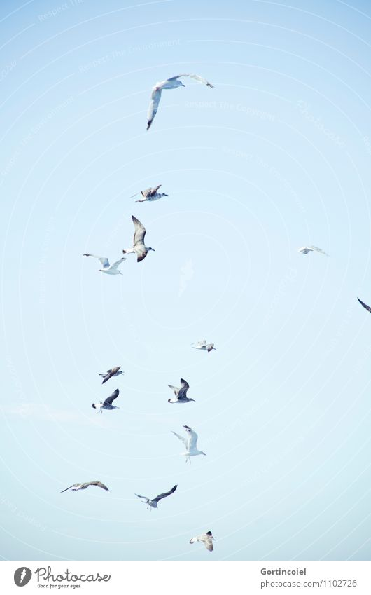 Möwen Himmel Wolkenloser Himmel Wildtier Vogel Flügel Tiergruppe Schwarm blau maritim Möwenvögel Vogelschwarm Meeresvogel Cote d'Azur Südfrankreich Farbfoto