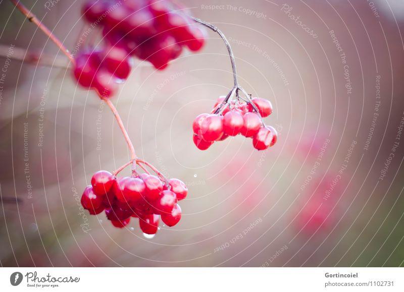 Red Balls Natur Pflanze rot Winter Sträucher Gemeiner Schneeball