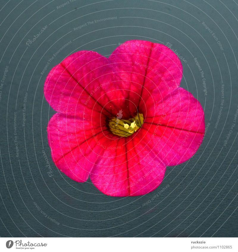 Petunie, Pitunia, Calibrachoa, Natur Pflanze rot Blume schwarz Blüte Hintergrundbild rosa frei Rose Stillleben Terrasse Schlag Objektfotografie Topfpflanze