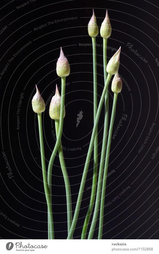 Zierlauchknospen, Allium, Knospe, Natur Pflanze Blume schwarz Garten Dekoration & Verzierung violett Ambiente Porree Blumenbeet Knollengewächse Zierpflanze