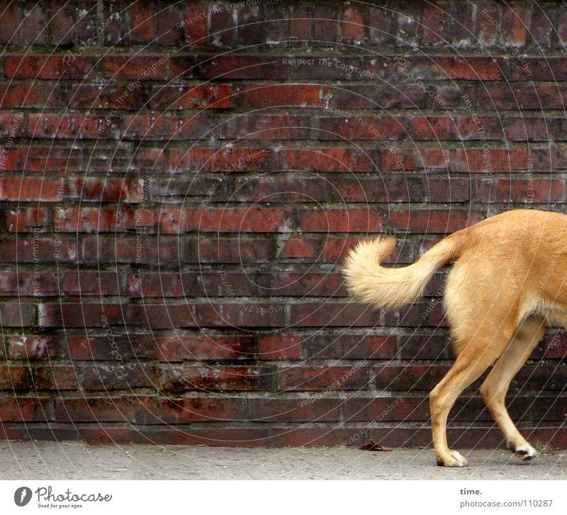 Halber Hund vor Rechteck auf Rundgang im Viertel rot Straße Wand Hund Stein Mauer braun blond Backstein Verkehrswege Geruch Säugetier Schwanz Bodenplatten gebeugt schleichen