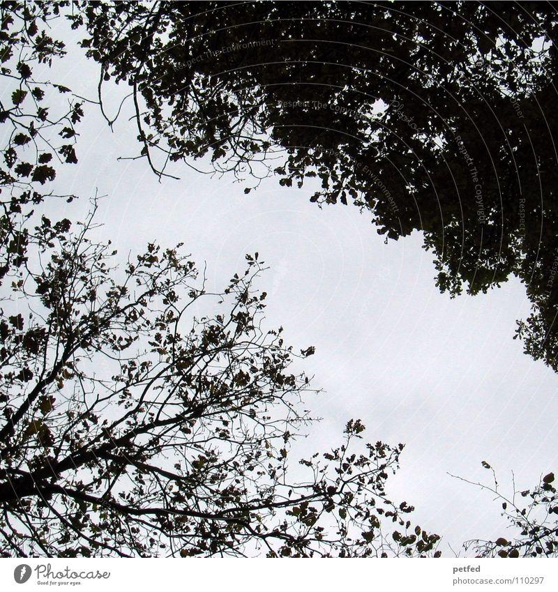 Baumkronen II Natur Himmel weiß blau Winter Blatt schwarz Wald Herbst hoch Ast unten Zweig