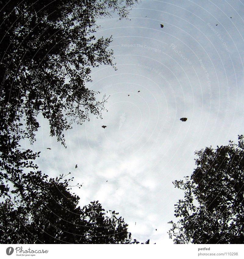 Baumkronen III Herbst Wald Blatt Winter schwarz weiß unten Wolken Himmel Ast Zweig Natur blau Schatten hoch fallen Wind